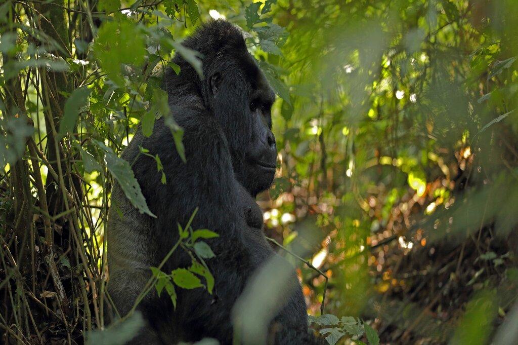 Gorilla Trekking Safari Holiday in Uganda