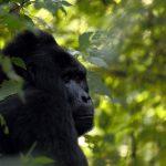 Gorilla Trip in Rwanda