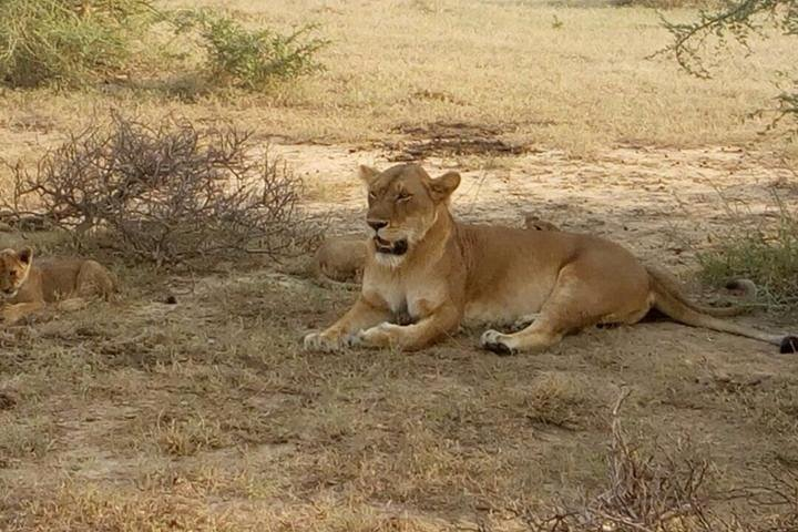 Lioness Masai Mara