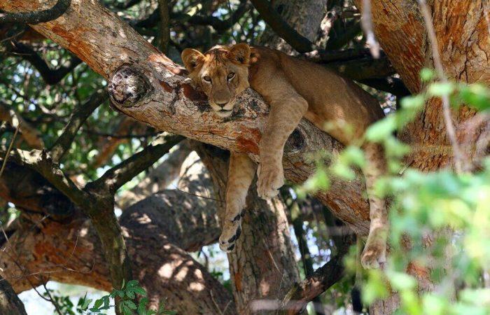 Ugandan Safari Tours