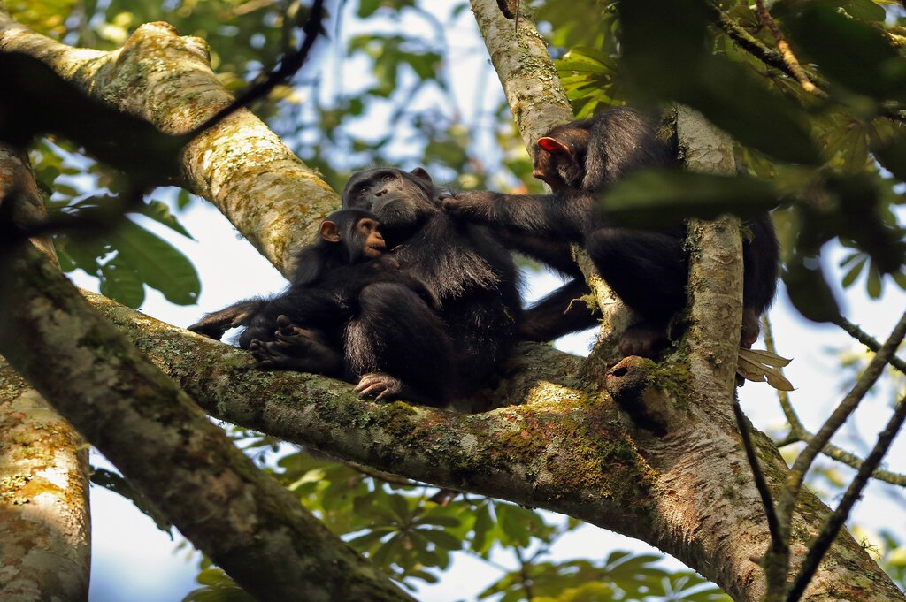 Chimpanzee trekking in Kalinzu