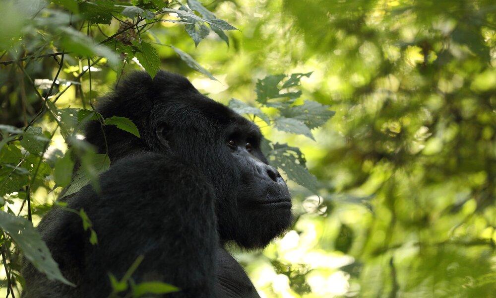 Uganda Gorillas Bwindi