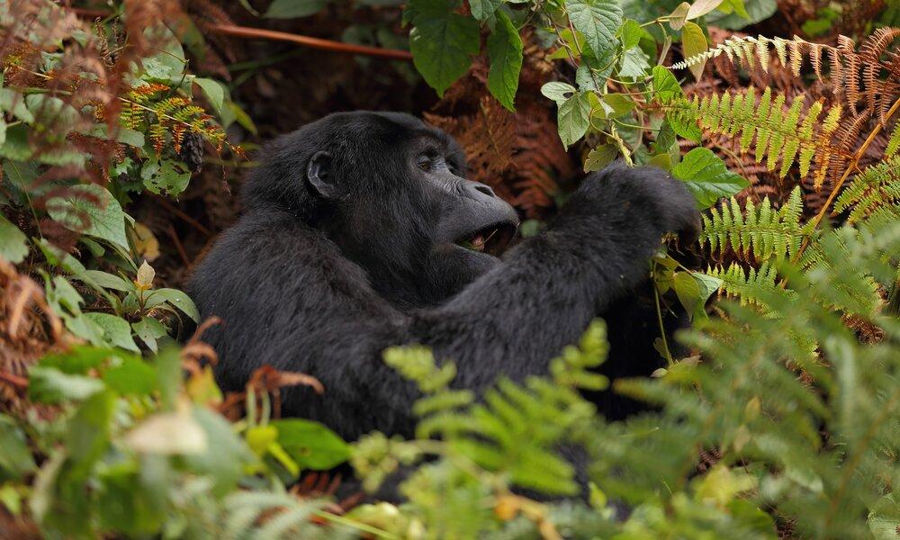 Gorilla Uganda Tours