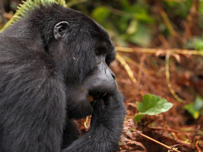 Gorilla Safaris Uganda Kenya